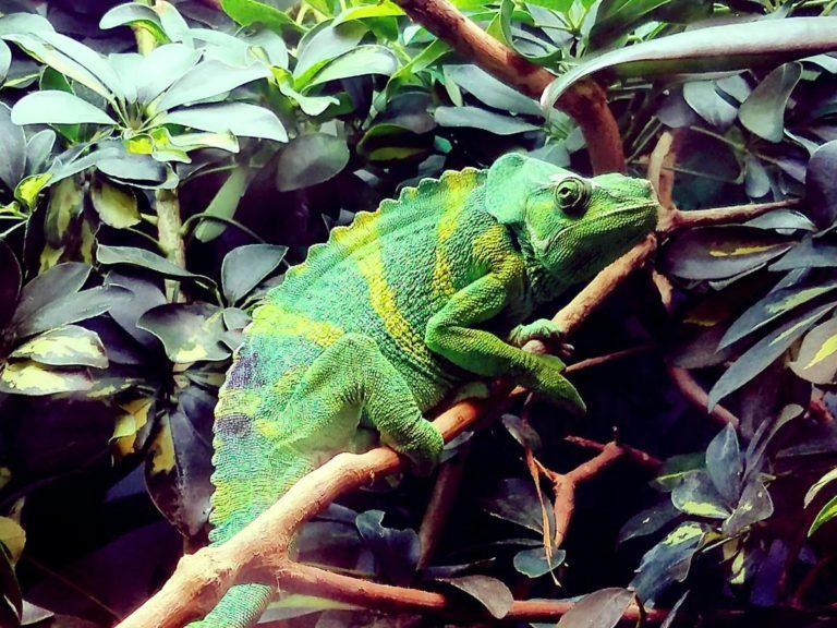 Co jest ważne w przypadku trzymania gekonów lub kameleonów